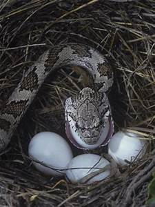 Black Rat Snake Eating an Egg it Has Raided in a Bird Nest ...