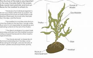 Image Result For Giant Kelp Holdfast
