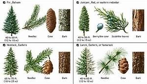 Plants   4 Pine Tree Identification Key   Pine Tree Identification Guide In 2019