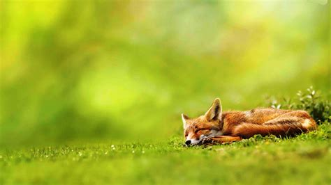 Wallpaper Fox Animal - fox animal hd wallpaper hdwallpaperup