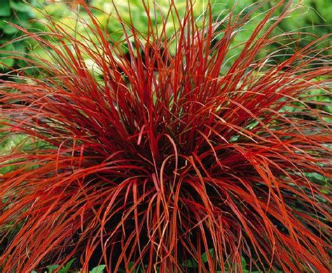 what ornamental grasses are perennials ornamental perennial quot uncinia rubra firedance ornamental grass quot seeds grasses perennials and ebay