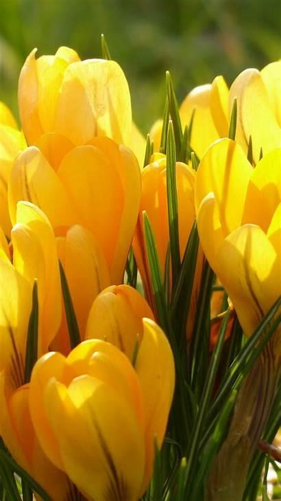 4k Flowers Yellow Tulip Iphone Ultra Smartphone