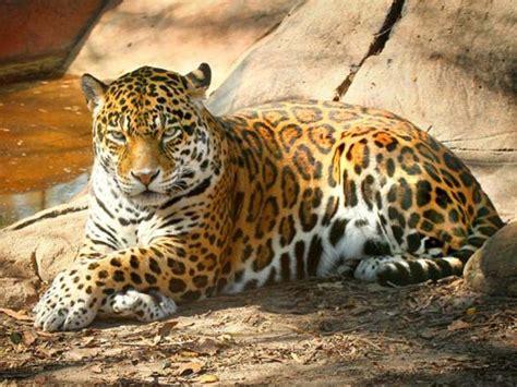 jaguar cat fantastic jaguar pictures pics images and photos for your