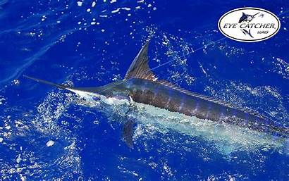 Marlin Fishing Offshore Desktop Whale Animaux Animales