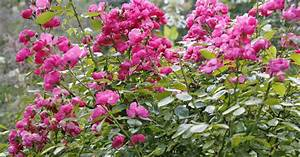 Rose Mein Schöner Garten : rosen umpflanzen mein sch ner garten ~ Lizthompson.info Haus und Dekorationen