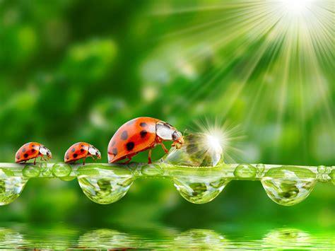 ladybug sun rays grass morning dew drops water wallpaper