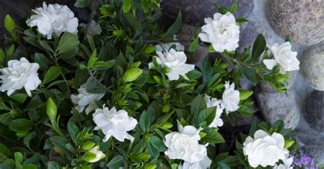 Top 10 Fragrance Plant To Make Your Every Day A Refreshing