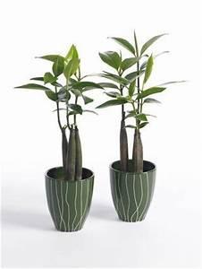 Plante D Intérieur Haute : une plante originale bruguiera sexangula voir ~ Premium-room.com Idées de Décoration