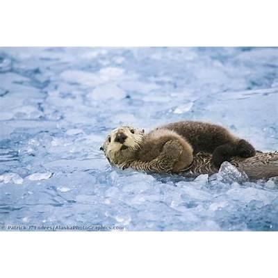 Alaska Sea otter photos and natural history information