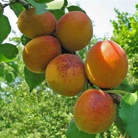 Apricot Goldcot   Buy Apricot Tree   Purchase Apricot ...
