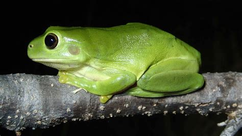 app   save australias threatened frogs port