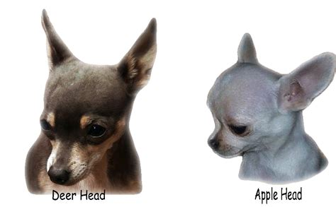 chihuahua deerhead clipart images gallery