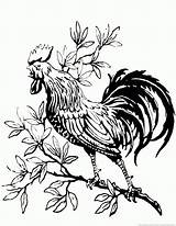 Rooster Coloring Pages Animal sketch template