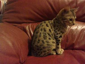 Female Brown Spotted Bengal Kitten For Sale | Cirencester ...