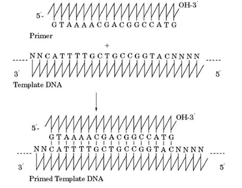 what is a template in biology dna sequencing molecular biology