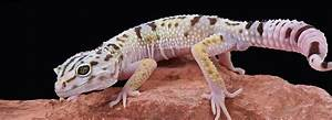 Leopard Gecko Habitat & Tank Setup PetSmart