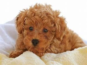 Cutest Dog Breeds Hd Cute Brown Poodle Puppies Pictures ...