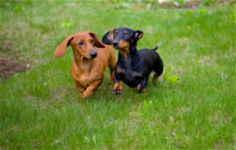 lap dogs dogbreeds