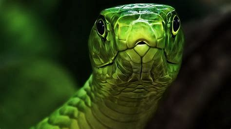 Green Animal Wallpaper - green snake hd wallpaper 187 fullhdwpp hd wallpapers