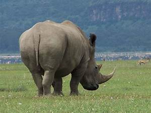 Rhinoceros Pictures  Images  Photos