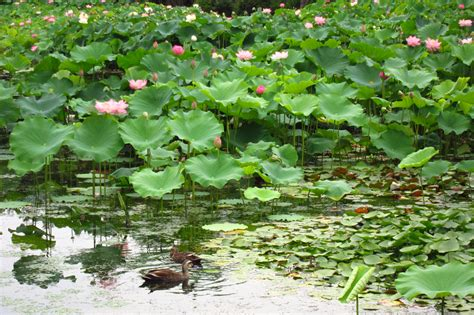 lotus garden 49 photos 116 of the seasons in japan lotus garden