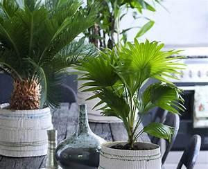 Palmen Für Die Wohnung : palmen f r ein sonniges flair in der wohnung familien ~ Markanthonyermac.com Haus und Dekorationen