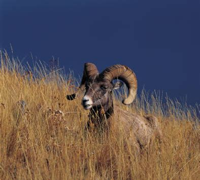 do bighorn sheep shed their horns faq ii which season of the year do deer turn into elk