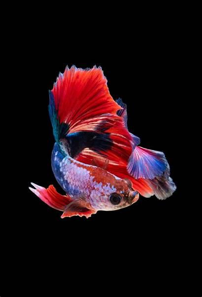 Fish Iphone Wallpapers Unsplash 4k Guppy Lock