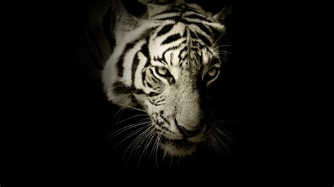 Tiger Animal Wallpaper - wallpaper white tiger hd animals 12879