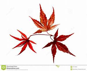 Japanese Red Maple Tree Leaves Stock Images - Image: 14110934