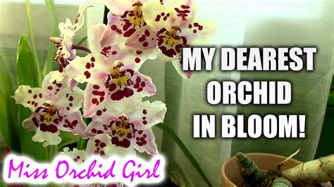 how can i get my orchid to bloom again wilsonara franz wichmann my dearest orchid in bloom youtube