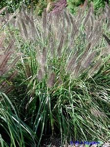 ornamental_grasses
