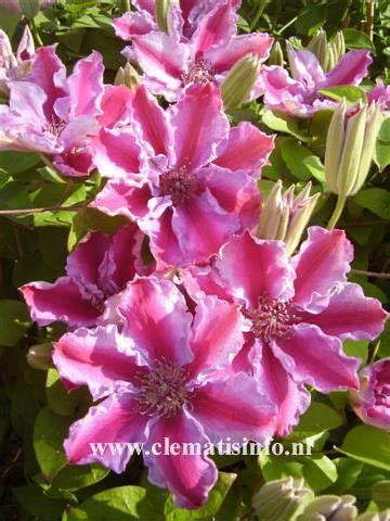 images  clematis  pinterest white