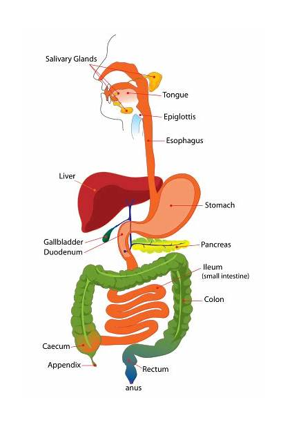 Digestive System Svg Simplified Wikimedia Commons Endocrine