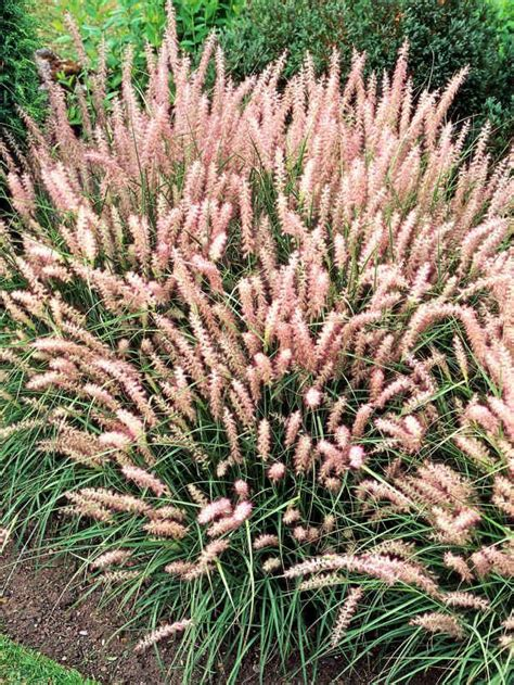 perennial grass pin by cindy reynolds on ornamental grass and rushes pinterest
