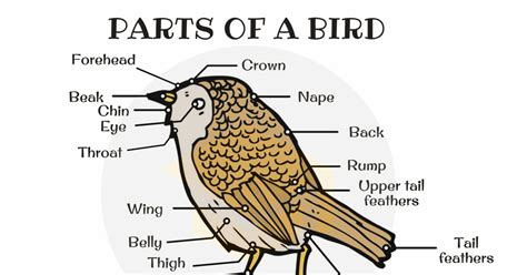 Different Parts Of A Bird In English (with Picture)  7 E S L