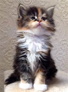 maine coon cat breeders lovely blue silver with white kitten manchester greater