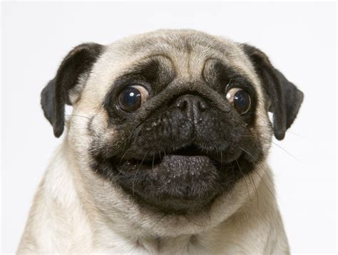 le chien carlin pug pinterest smile