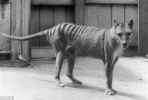 Tasmanian tiger declared as a protected species 80 years ...