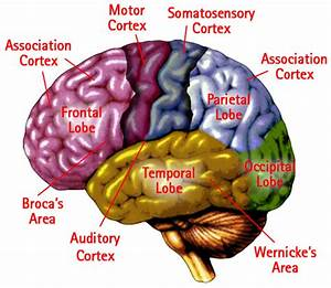 Cortex Of The Brain