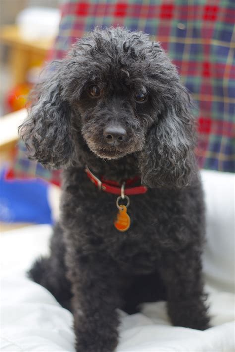 Wiki Poodle Upcscavenger