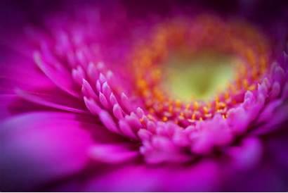 Purple Flower Pink Bckgrounds Petals Roses Flowers