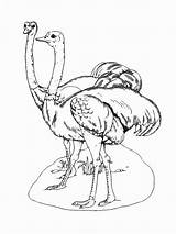 Ostrich Coloring Pages Birds Template Printable Recommended Colors Pig sketch template