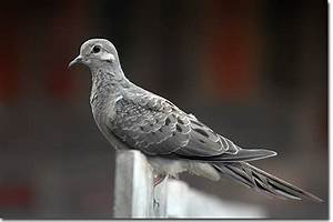 Backyard Bird Cam - Mourning Dove juvenile