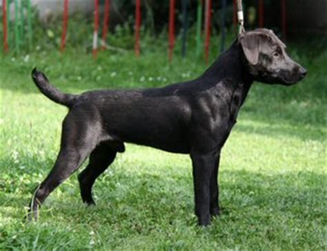 Springer Spaniel Shedding Level by Patterdale Terrier Dog Breed Profiles