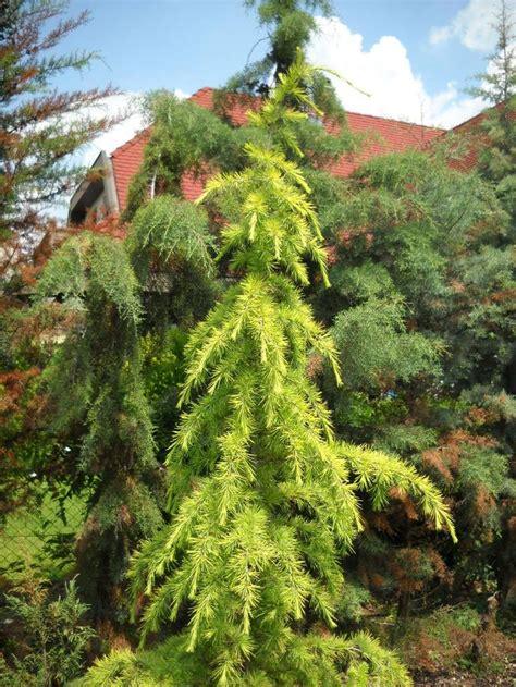 cedrus deodara golden horizon rosliny drzewa
