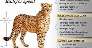 Gait Speed Chart Do You Know How Fast A Cheetah Can Run Information On