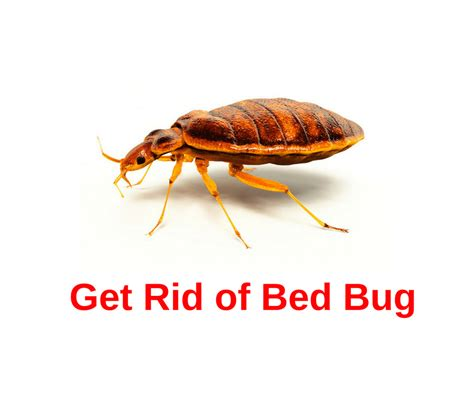 Rid Of Bed Bugs by Get Rid Of Bed Bugs Naturally Agriculture Goods