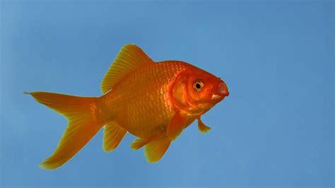 wie groß werden goldfische gro 223 wie fu 223 b 228 lle ausgesetzte goldfische werden in gew 228 ssern zum problem welt