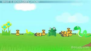 What Is Biomagnification  - Definition  U0026 Examples